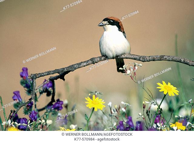 Woodchat Shrikes (Lanius senator). Extremadura. Spain