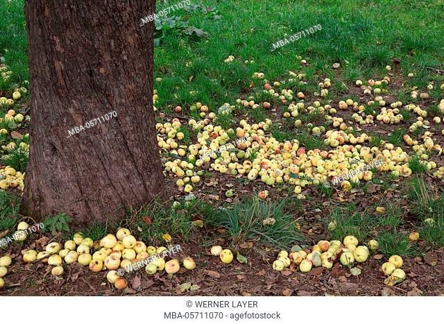 apple tree with windfall in autumn