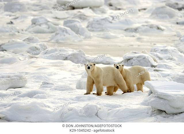 Polar bear Ursus maritimus Wary mother and second-year cub