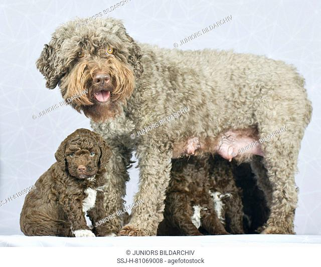 Lagotto Romagnolo. Mother suckling puppies. Germany