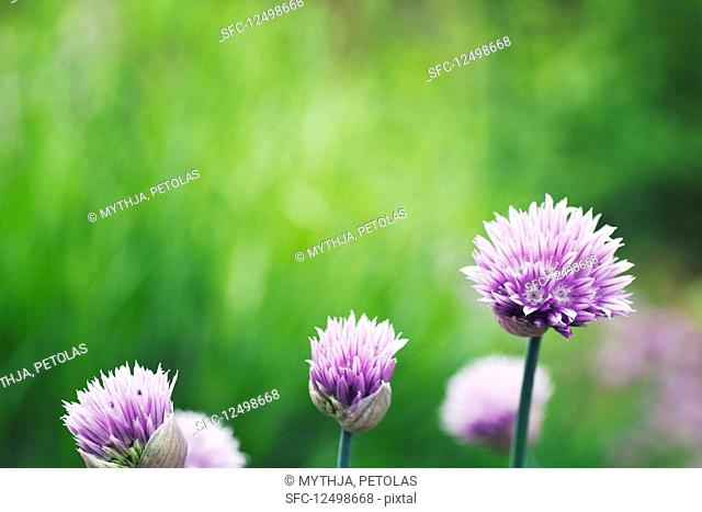 Fresh chives flower over colorful background
