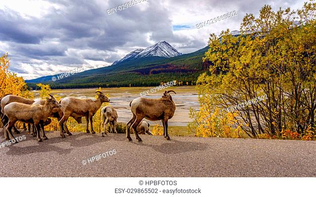 Group of Big Horn Sheep in Jasper National Park in the Canadian Rocky Mountains