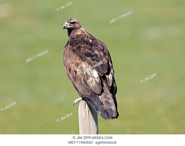 Golden Eagle perched on fence post