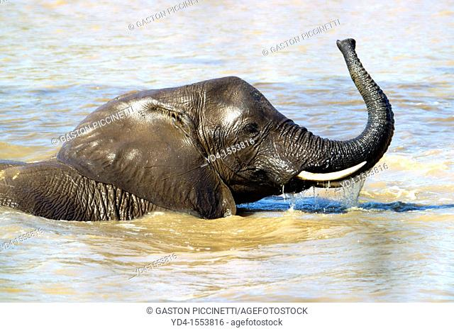 African Elephant Loxodonta africana, in the river, Shingwedzi river, Kruger National Park, South Africa
