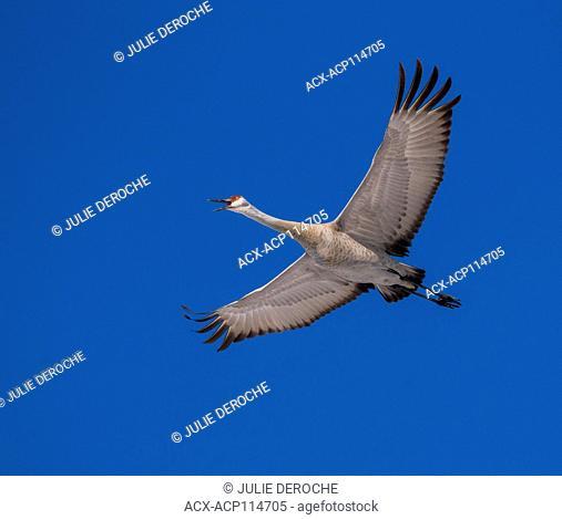 sandhill crane, Grus canadensis, North Bay region, West Nipissing, north eastern ontario