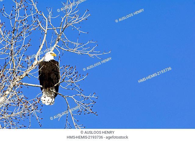 Bald Eagle (Haliaetus leucocephalus)