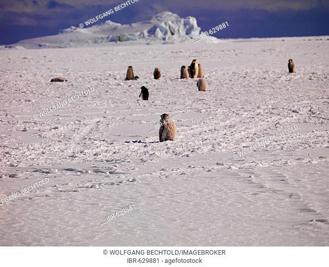 Emperor Penguins (Aptenodytes forsteri) at Cape Washington, Ross Sea, Antarctic