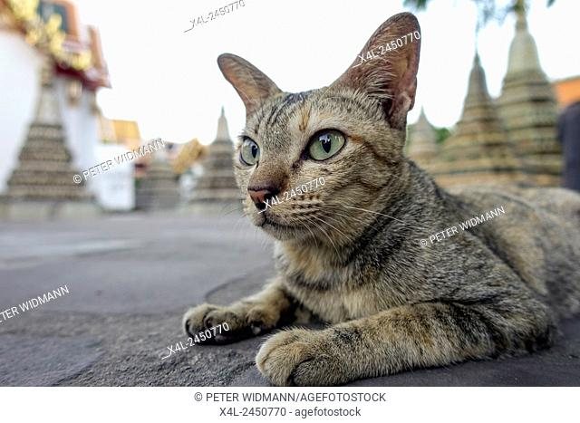 Cat at Wat Pho, Temple of the Reclining Buddha in Bangkok, Thailand, Asia