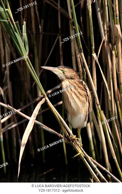 Chick of little bittern on a cane - ixobrychus minutus - Italy