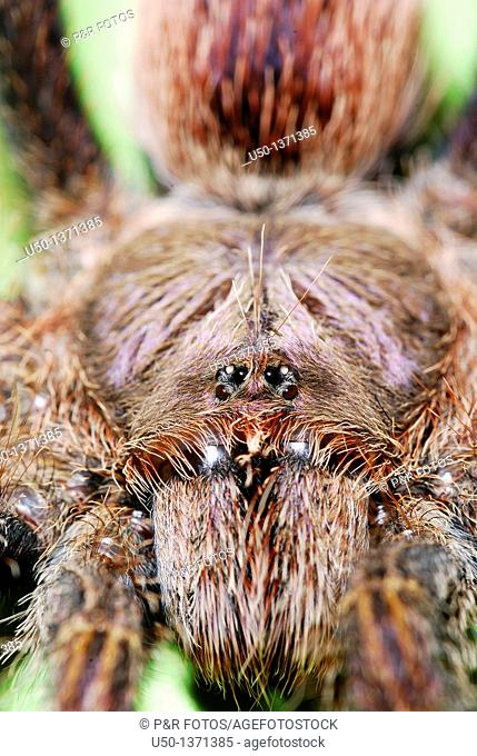 Chelicera of tarantula, Aranae, Orthognatha, Theraphosidae, Rio Branco, Acre, 2009