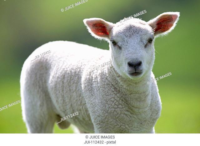 Close up portrait of lamb
