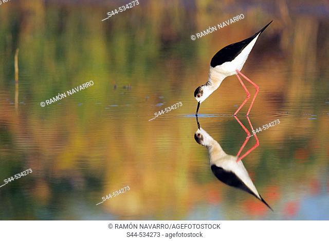 Cigüeñuela en el Parque nacional de Doñana