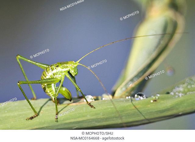 Bush Cricket Leptophyes punctatissima deseams itself