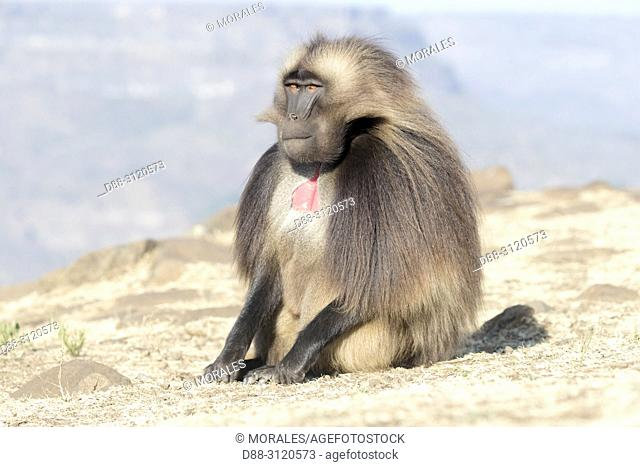 Africa, Ethiopia, Rift Valley, Debre Libanos, Gelada or Gelada baboon (Theropithecus gelada), dominant male, alone