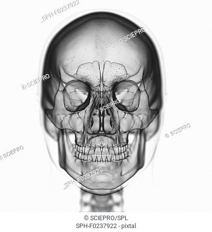 Illustration of the skull