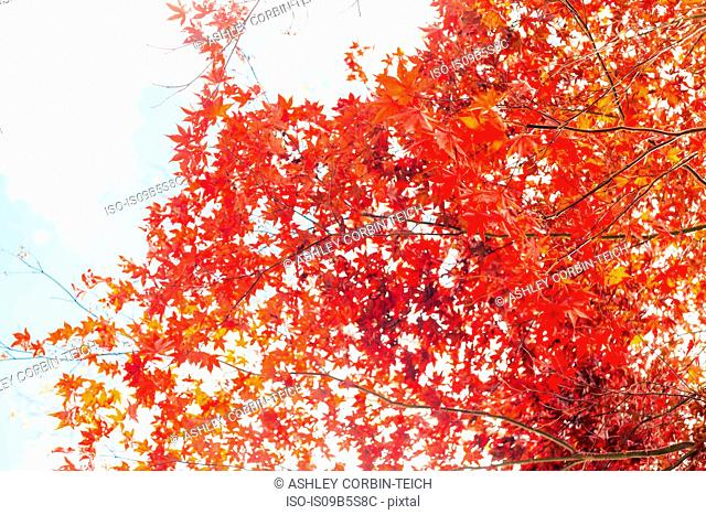 Japanese Maple tree (Acer palmatum) in autumn, low angle view
