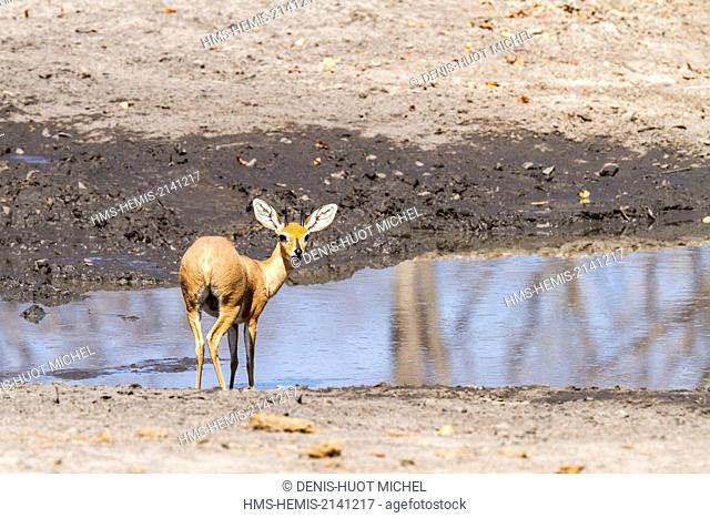 Botswana, Chobe national park, Savuti area, steenkob (Raphicerus campestris), coming for drinking at a waterpoint