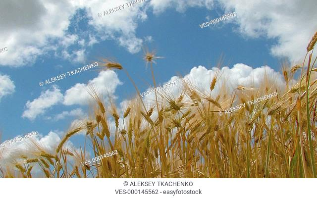 HD yellow ripe ears of wheat move from the wind against the background of blue sky with clouds, Canon XH A1, FullHD, 1080p, 25fps, progressive scan