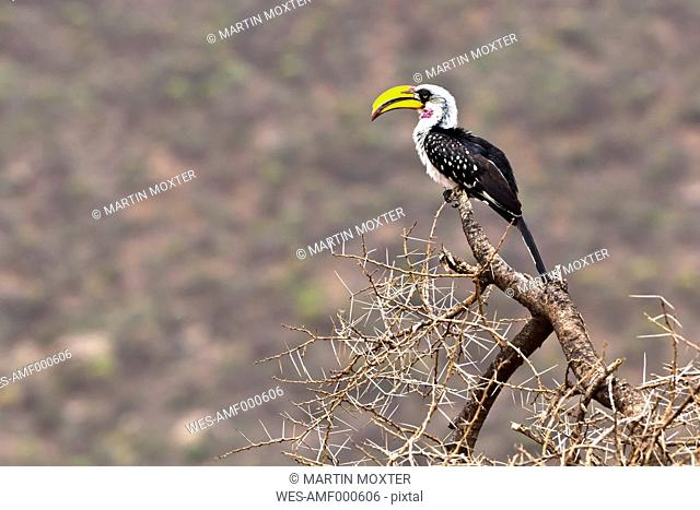 Africa, Kenya, View of Yellow billed Hornbill bird in Samburu National Reserve