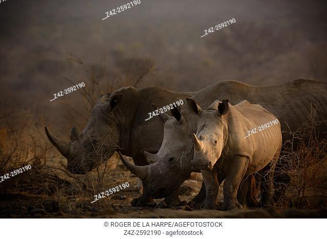 White rhinoceros or square-lipped rhinoceros (Ceratotherium simum). Madikwe Game Reserve. North West Province. South Africa