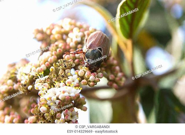 May-bug beetle