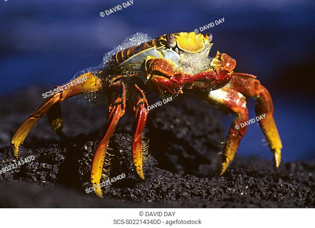 Sally lighfoot crab foaming on tip toe Grapsus grapsus Punta Espinosa, Fernandina Island, Galapagos, Ecuador