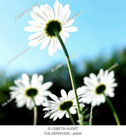 Rear view of sunlit daisies against blue sky