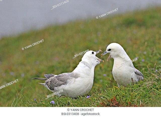 Northern fulmar Northern fulmars Fulmarus glacialis, Shetland Islands, Scotland. Fulmarus glacialis  Northern fulmar  Fulmar  Procellariid  Seabird  Bird