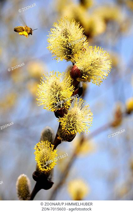 Goat willow with bee