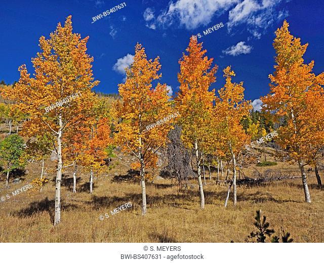 American aspen, quaking aspen, trembling aspen (Populus tremuloides), American aspens in autumn, USA, Wyoming, Grand Teton National Park