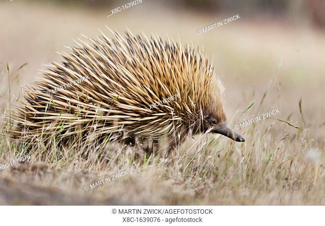 Short-beaked Echidna Tachyglossus aculeatus, an oviparous mammal of Australia Short-beaked Echidnas feed on Ants and termites, the spiky coat