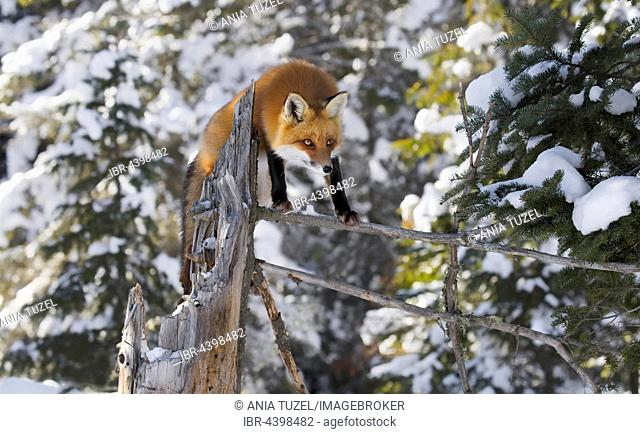 Red Fox (Vulpes vulpes), adult on the outlook, standing on a tree branch in winter, Algonquin Park, Ontario