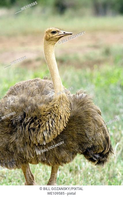 Ostrich - Tsavo West National Park, Kenya