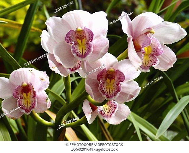 Boat orchid, Cymbidium, Botanical Park, Kerala, India