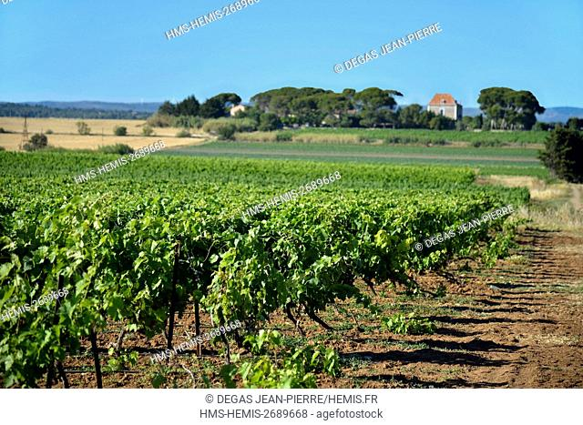 France, Herault, Marseillan, vineyards around Thau lagoon