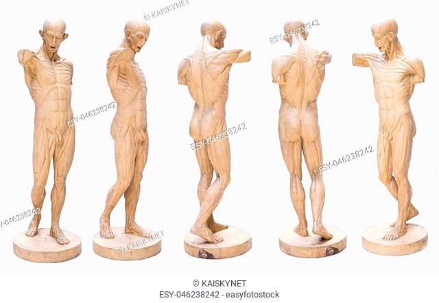 model emulation Resin muscular human anatomy model for Art