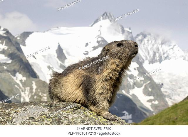 Alpine marmot (Marmota marmota) in front of the snow covered mountain Grossglockner, Hohe Tauern National Park, Carinthia, Austria