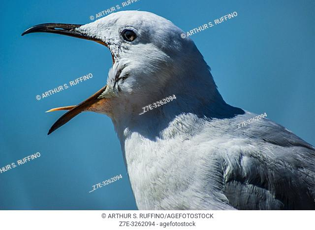 """""""""""Expressing displeasure. """" Portrait of a Cape gull (Larus dominicanus vetula), South Africa"