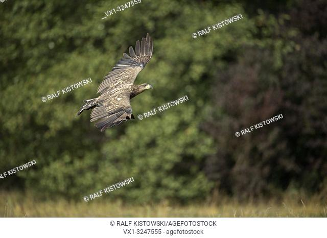Immature White-tailed Eagle / Sea Eagle / Seeadler (Haliaeetus albicilla) in control flight in front of the edge of a broadleaf forest, top view
