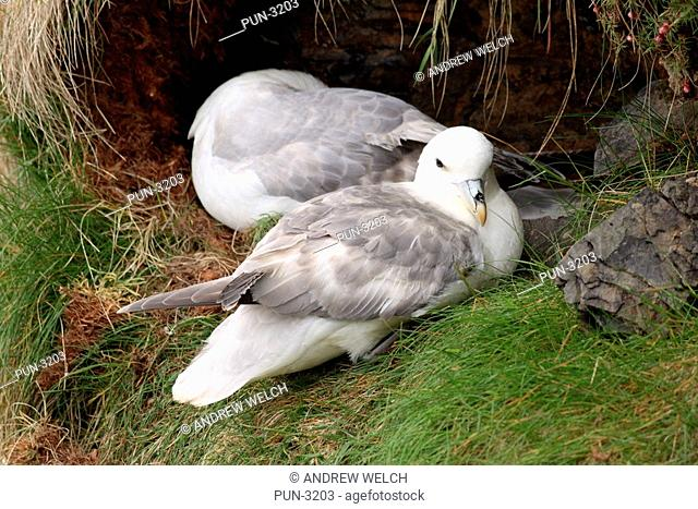 Pair of fulmars Fulmarus glacialis on nest at Duncansby Head