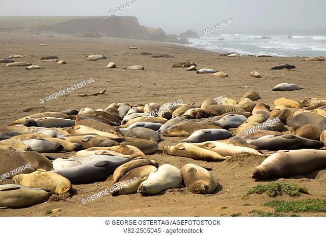 Elephant seals at Arroyo del Corral Beach, Hearst San Simeon State Park, California