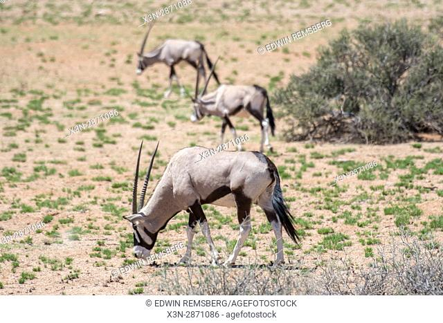 Gemsbok antelope grazing in the grasslands of the Namib-Naukluft National Park in Namibia, Africa