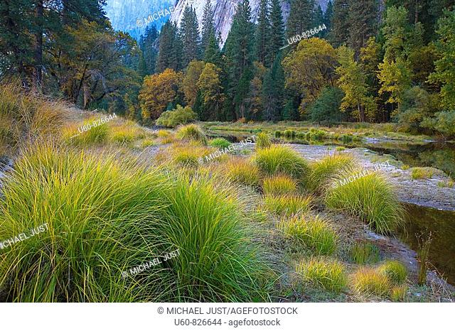 TALL GRASSES AND COLORFUL TREES LINE THE MERCED RIVER IN AUTUMN AT YOSEMITE NATIONAL PARK, CALIFORNIA