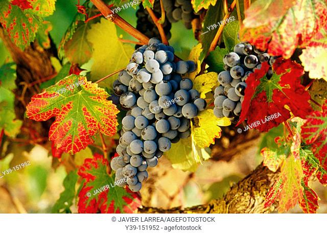 Grapes, La Rioja, Spain