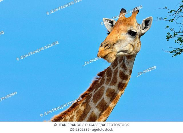 South African giraffe or Cape giraffe (Giraffa giraffa giraffa), Kruger National Park, South Africa, Africa