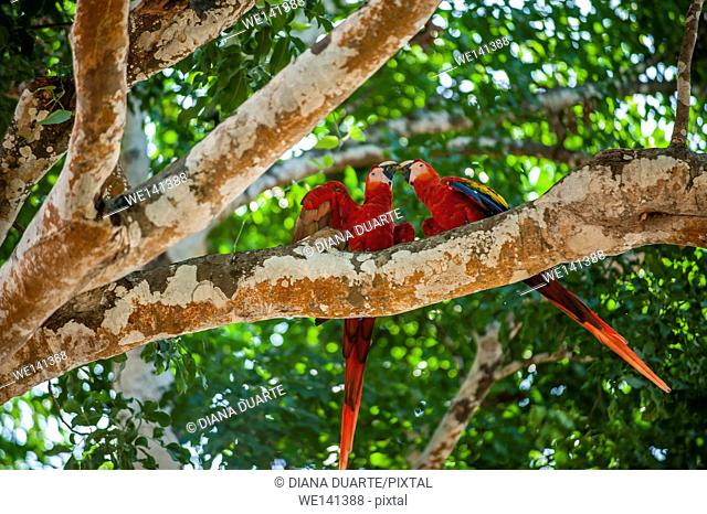' Scarlet macaw', (Ara macao), This brilliantly colored, medium-sized macaw is the only macaw found on the Pacific side of Costa Rica
