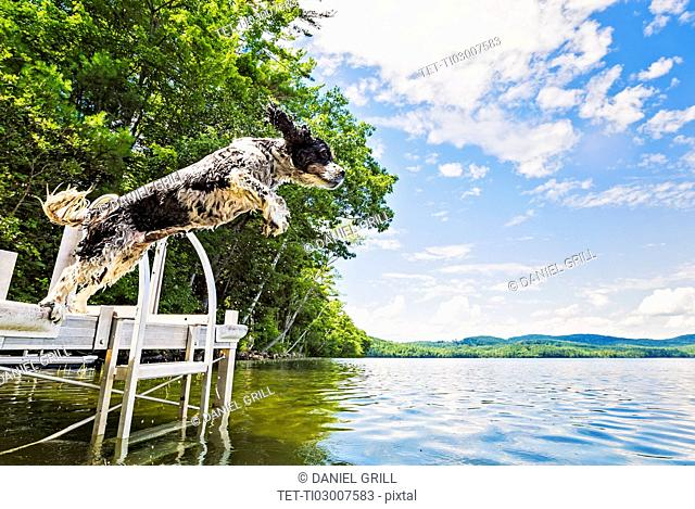 Dog jumping into lake from jetty