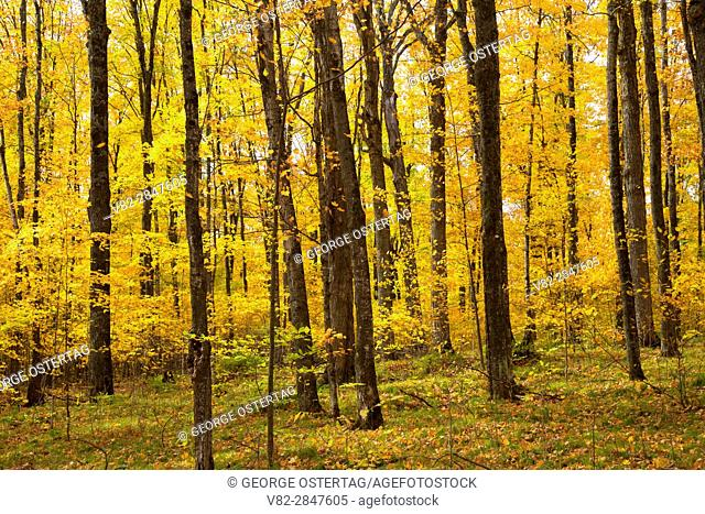 Hardwood forest in autumn, Chequamegon-Nicolet National Forest, Wisconsin
