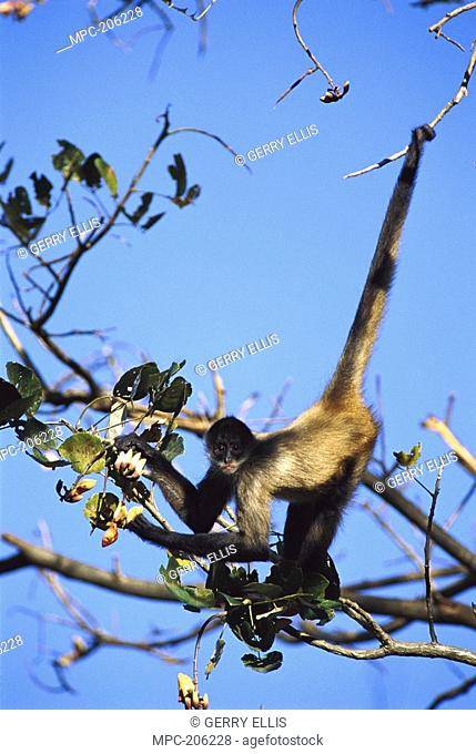 Black-handed Spider Monkey Ateles geoffroyi, in tree eating Lobster Claw blossoms, Costa Rica