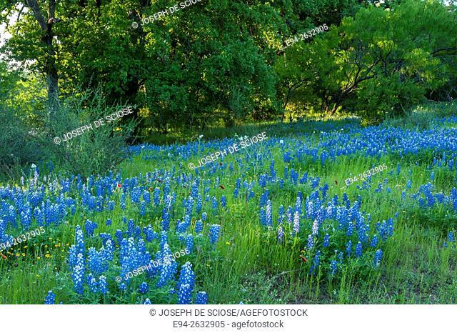 Bluebonnet wildflowers in Texas in the spring
